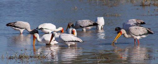Fishing Storks