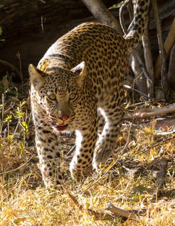 Sun Leopard