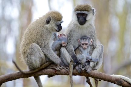 Vervet Monkeys, Lake Nakuru, Kenya