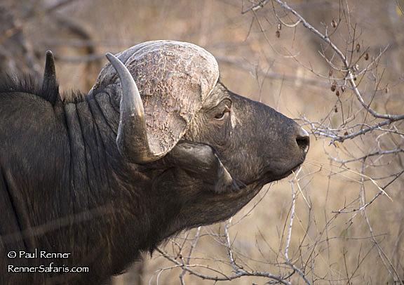 Cape Buffalo-2617