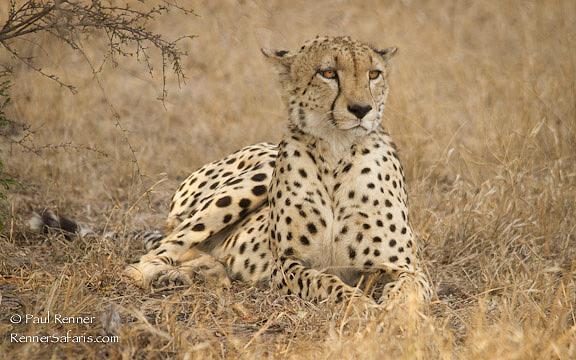 Cheetah-0956