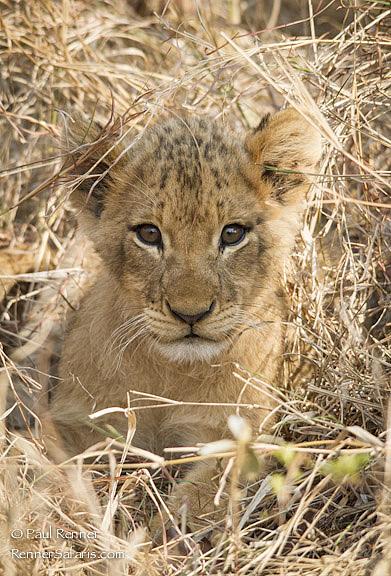 Cute Lion Cub-0630