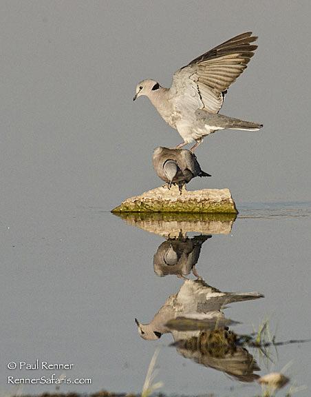 Dove Landing on Dove-3590