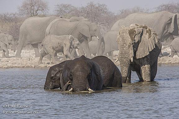 Elephants Bathing-4045