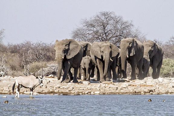 Elephants and OryxCome to Water-3824