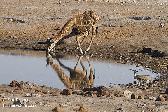 Giraffe Drinking-3432