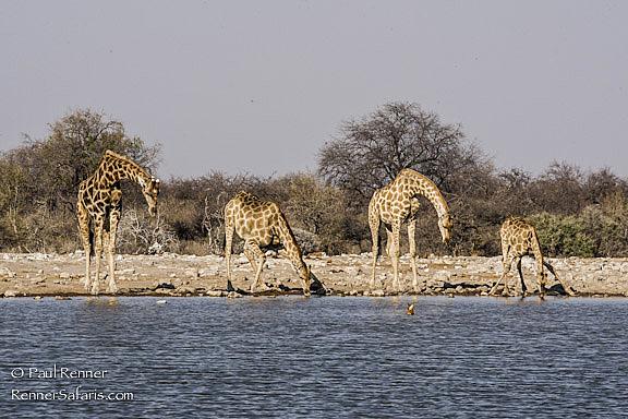 Giraffe Drinking-4141