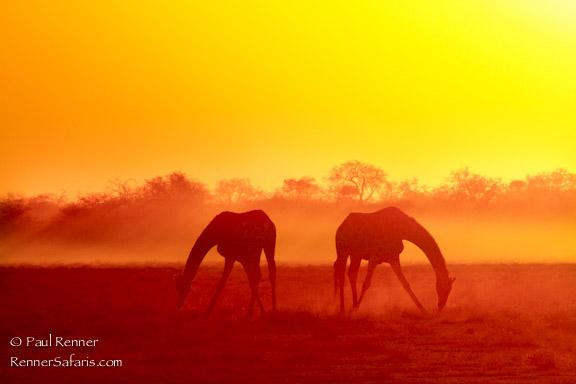 Giraffe at Sunset-3576