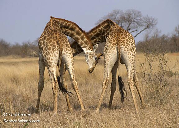 Giraffes Fighting-0026