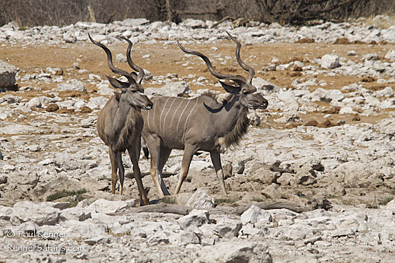 Greater Kudu-3269