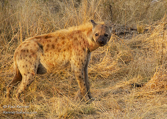Hyena-9800