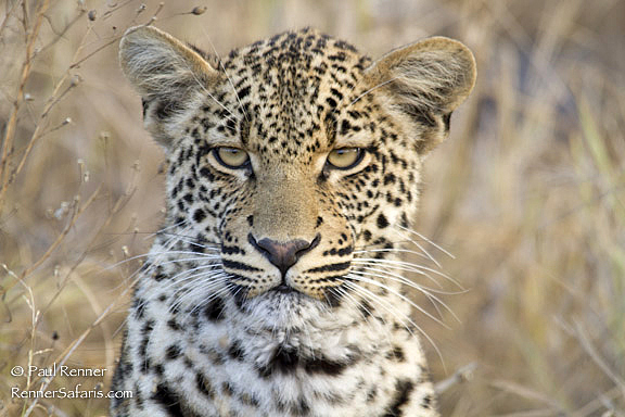 Leopard -1408