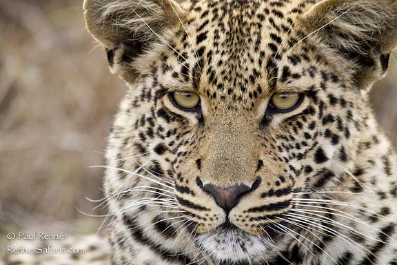 Leopard-1571