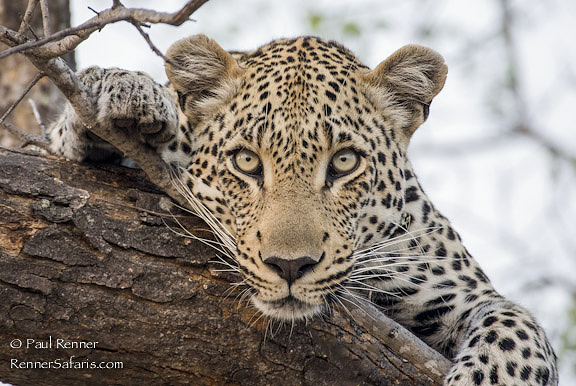 Leopard Eye Contact-00291