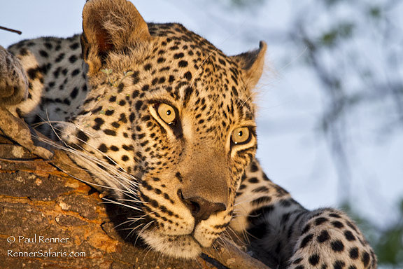 Leopard  Gazing-00313