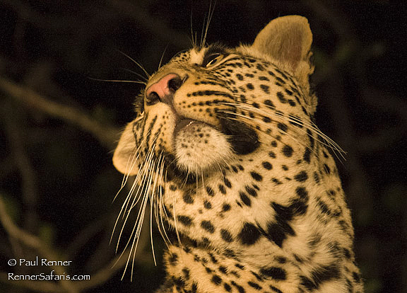 Leopard Looking Up-1969