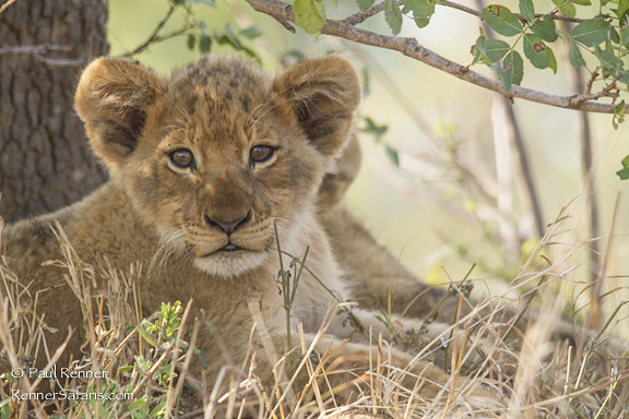 Lion Cub-0589