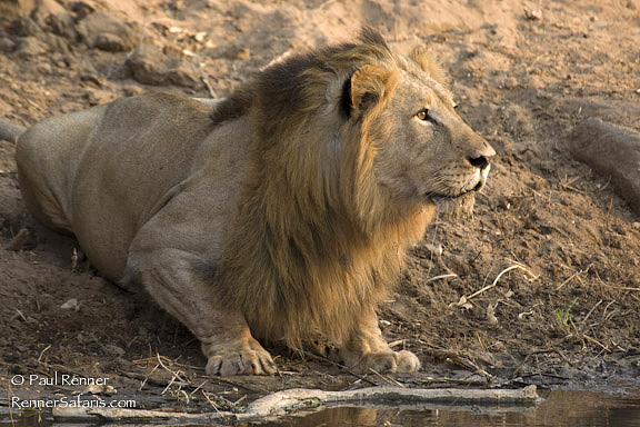Lion Looking Up-00178