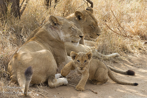 Lions and Cub-0649