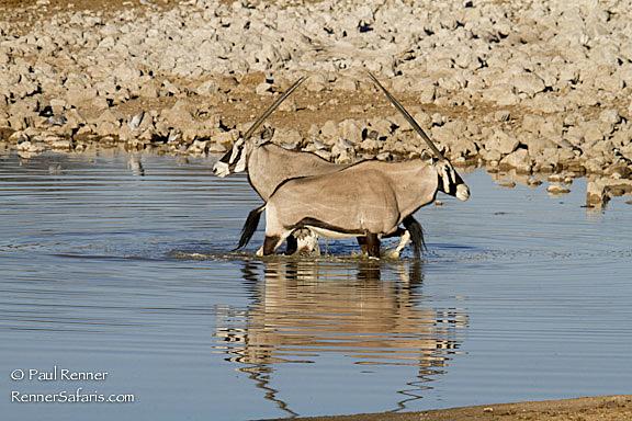 Oryx in Water-2512
