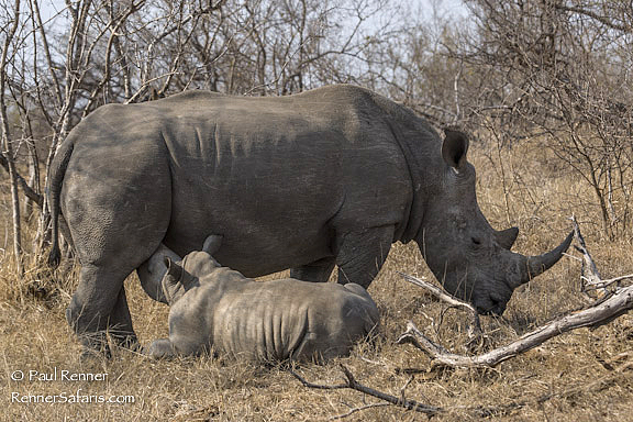 Rhino With Nursing Baby-2017