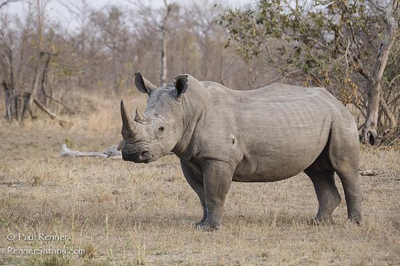 White Rhino   -2629