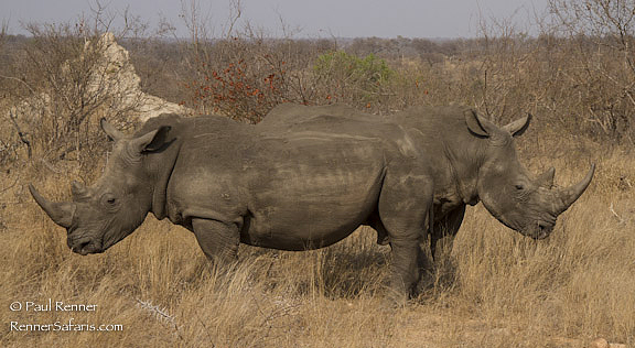 White Rhinos Coming Or Going-0442