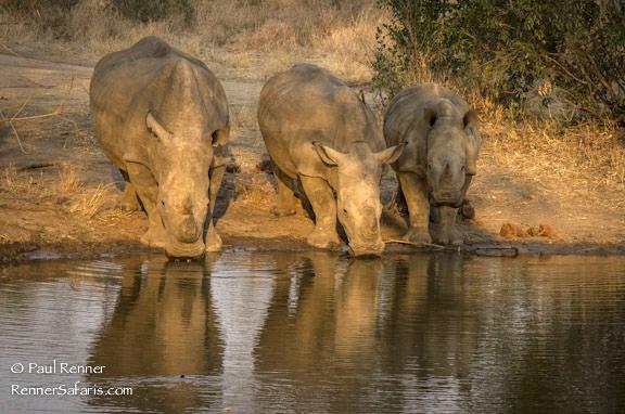 White Rhinos Drinking-0224
