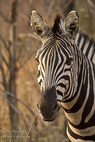Zebra-0758