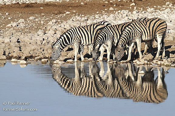 Zebra Reflecting-1867