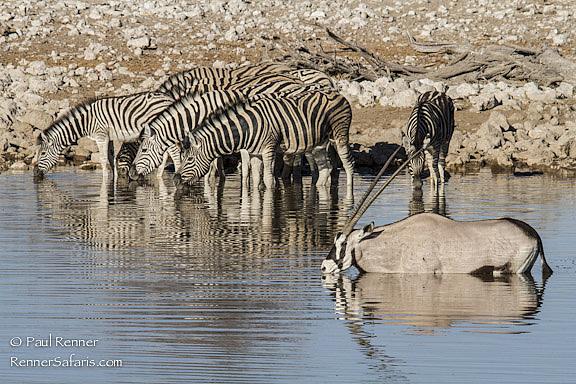 Zebra and Oryx Drinking-1898