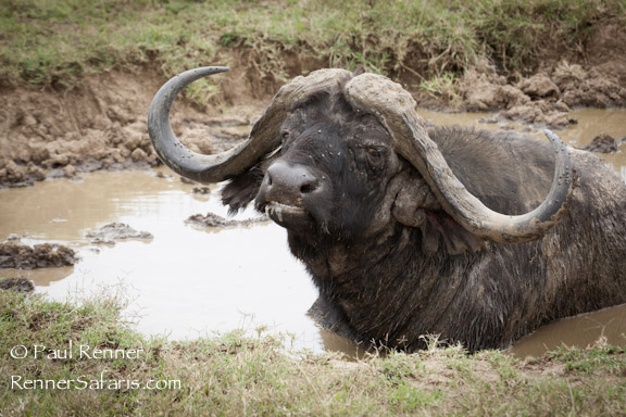 Cape Buffalo in Mud Bath-0136