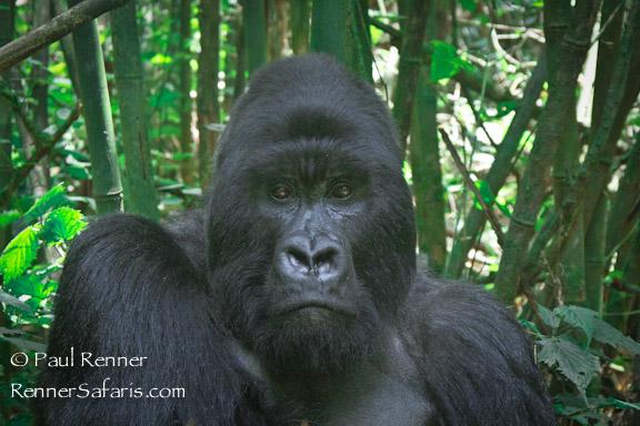 Giant Silverback Gorilla-8595
