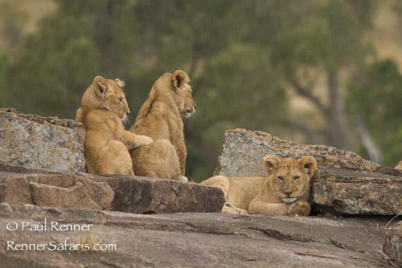 Lion Cubs Resting-7230