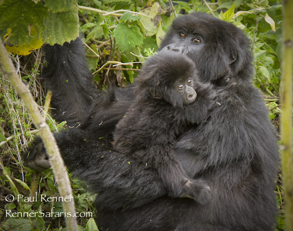 Mother and Baby Mountain Gorilla-8329