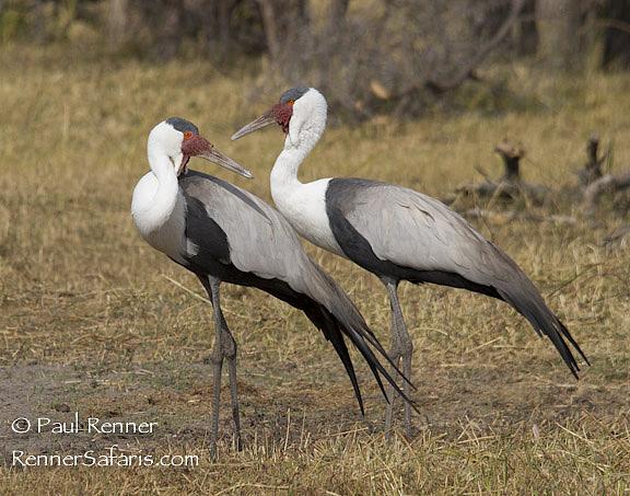 Wattled Cranes-8602