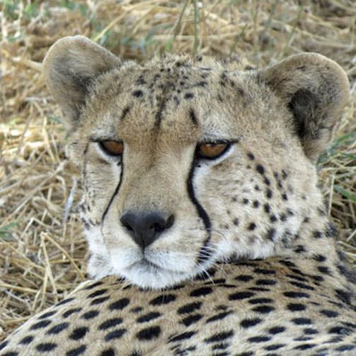 Cheetah-