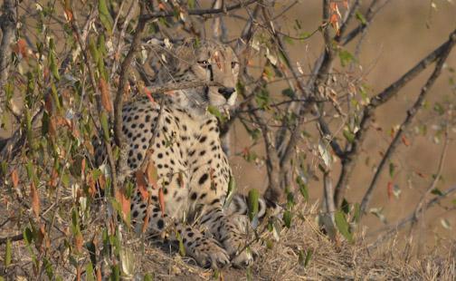 Cheetah Undercover-01