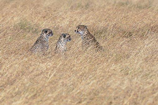 Cheetahs-