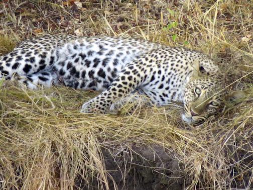 Leopard-4363