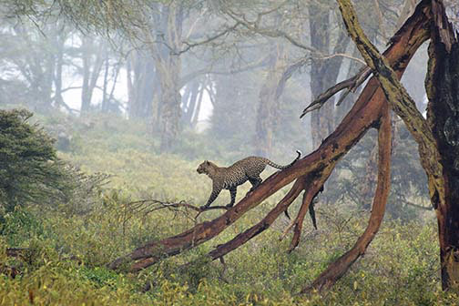 Leopard in Fog-