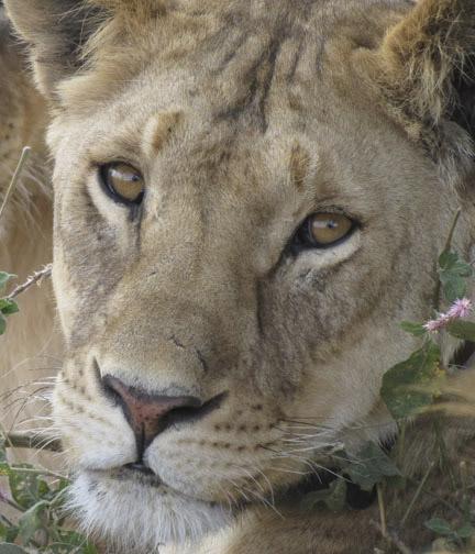 Lion Eyes-