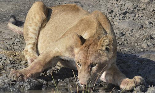 Lioness Drinking-01911
