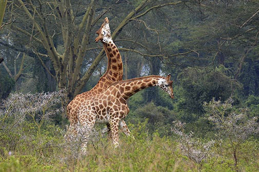 Rothchild's Giraffe Fighting-