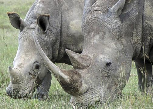 White Rhinos-