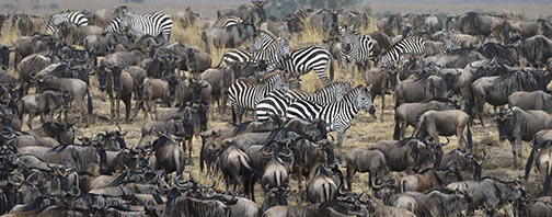 Wildebeest and Zebra-7613
