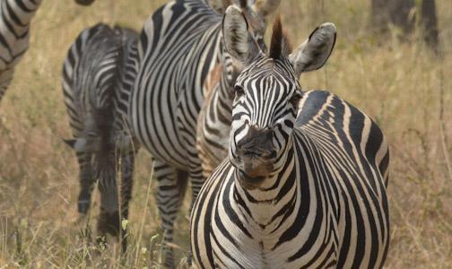 Zebra-0087