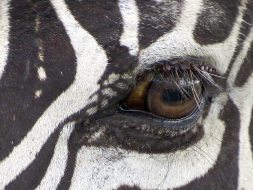 Zebra's Eye-3153