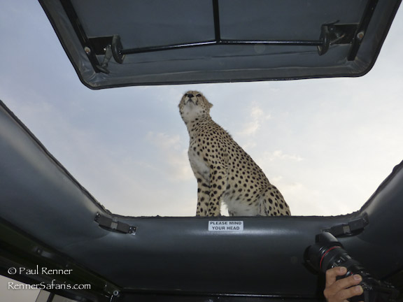 Cheetah on Our Vehicle-1040820