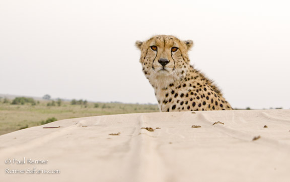 Cheetah on Our Vehicle-7922